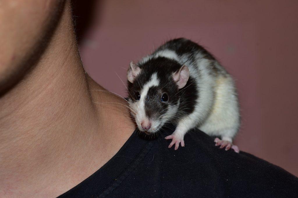 geluksweg - huisdieren houden ratten